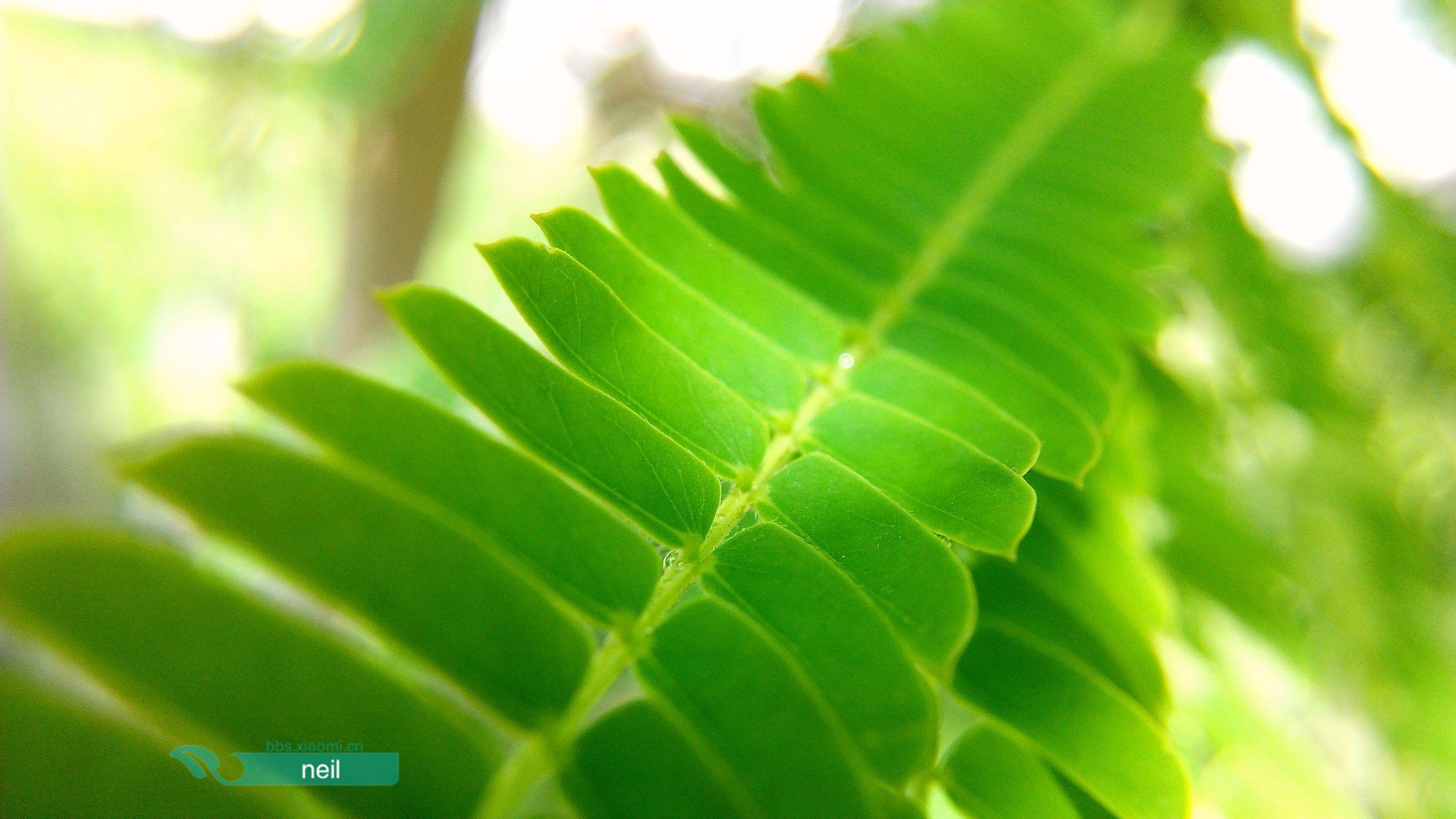 这种对称排列的树叶不多见,绿油油的给人一种清新透彻的心情!图片